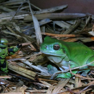 Image of: Aussie Days. The Great Green Tree Frog